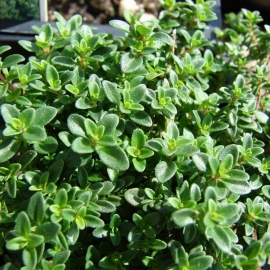 Тимьян лимоннопахнущий (Thymus citriodorus)