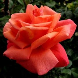 Роза Тройка (Troika)