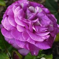 Роза Вайолет Парфюм ( Violette Parfumee / Melody Parfum)