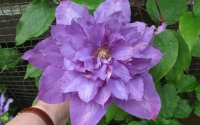 Клематис крупноцветковый  Вивьен Пеннелл  (Vyvyan Pennell')