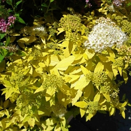Спирея японская Вайт Голд (Spiraea japonica White Gold) С 2 л ( 10-20 см)