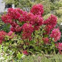 Гортензия метельчатая Вимс Ред (Hydrangea paniculata Wim's Red)