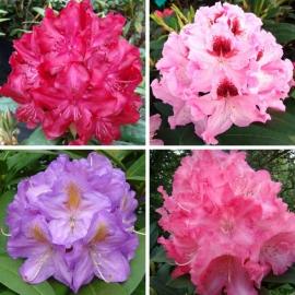 Рододендрон Микс (Rhododendron Rozanecznik mix) С 20 л (50-60 см)