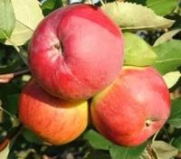 Яблоня Апрельское