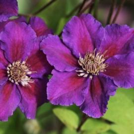 Клематис крупноцветковый Ашва (Ashva)
