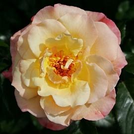 Роза Мунлайт (Moonlight)