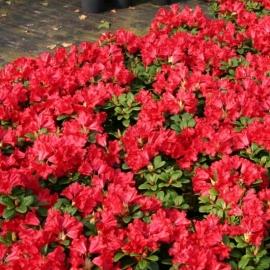Рододендрон ползучий Баден Баден ( Rhododendron repens Baden Baden)  С 5 л (30-40 см)