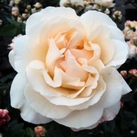 Роза Космос( Kosmos)