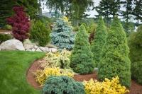 Ель канадская Коника (Picea glauca Conica) С 15 л(90-110 см)
