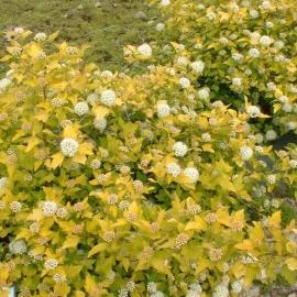 Пузыреплодник Дартс Голд(Physocarpus opulifolius Dart's Gold) с 2 л (30-40 см)