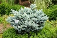 Ель колючая Глаука Глобоза (Picea pungens Glauca Globosa) С5л (30-40 см)