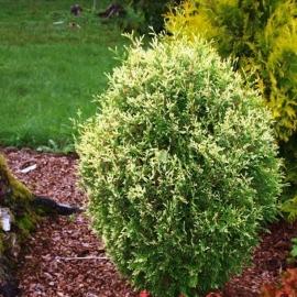 Туя западная Голд Перл (Thuja occidentalis Gold Perle) С1