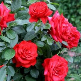 Роза Гранде Аморе (Grande Amore)