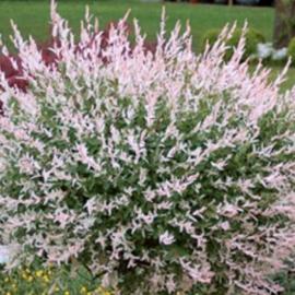 Ива японская Хакуро Нишики  (Salix integra Hakuro-nishiki) (штамб120 cм)