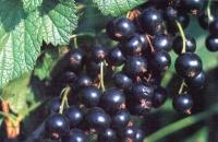 Смородина чёрная  Черешнева