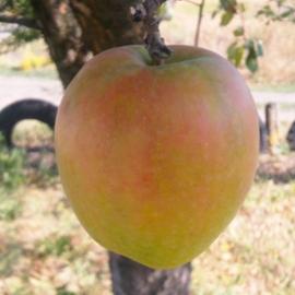 Яблоня Россошанское лёжкое