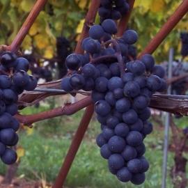 Виноград Маршалл Фош