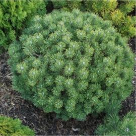 Сосна горная Мопс (Pinus mugo Mops) С 5 л (25-30 см)