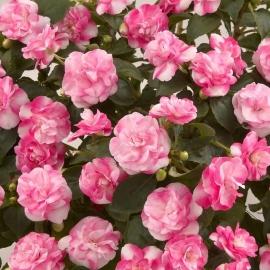 Бальзамин (Impatiens Musica Bicolor Pink)