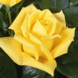 Роза Ландора (Landora)