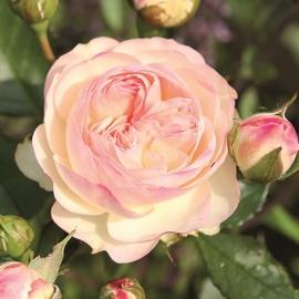 Роза Пастелла (Pastella)