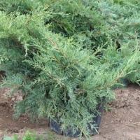 Можжевельник средний Пфитцериана Компакта (Juniperus x media Pfitzeriana Compacta)