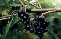 Смородина чёрная Плотнокистная