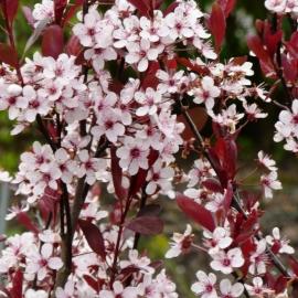 Слива Цистена (Prunus cistena) C 12 л (120-140 см)