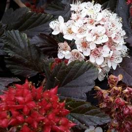Пузыреплодник калинолистный Ред Барон (Physocarpus opulifolius Red Baron) с 2 л ( 70-80 см)