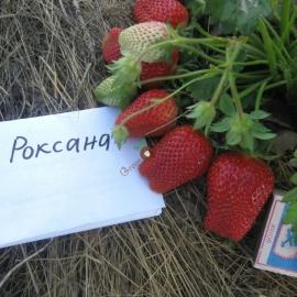 Саженцы клубники Роксана фриго - 10 шт