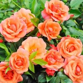 Роза Априкола (Aprikola)