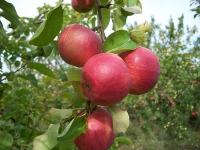 Яблоня Жигулёвское