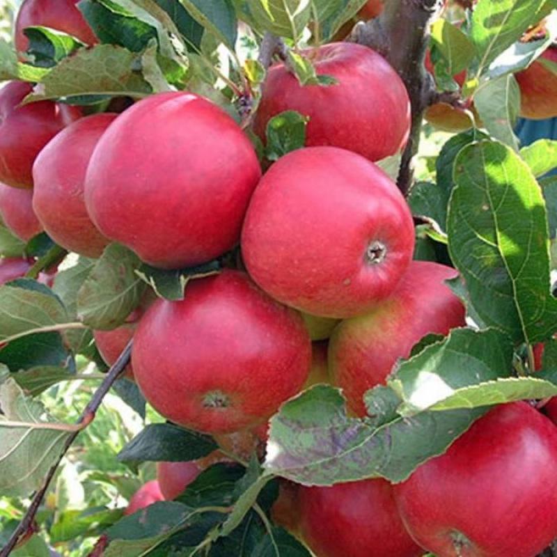 Яблоня Вишнёвое